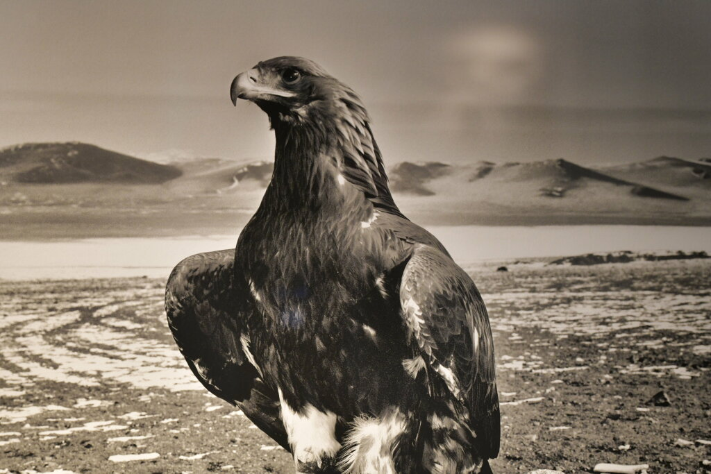 Hamid Sardar, Altai 'White Neck' Eagle