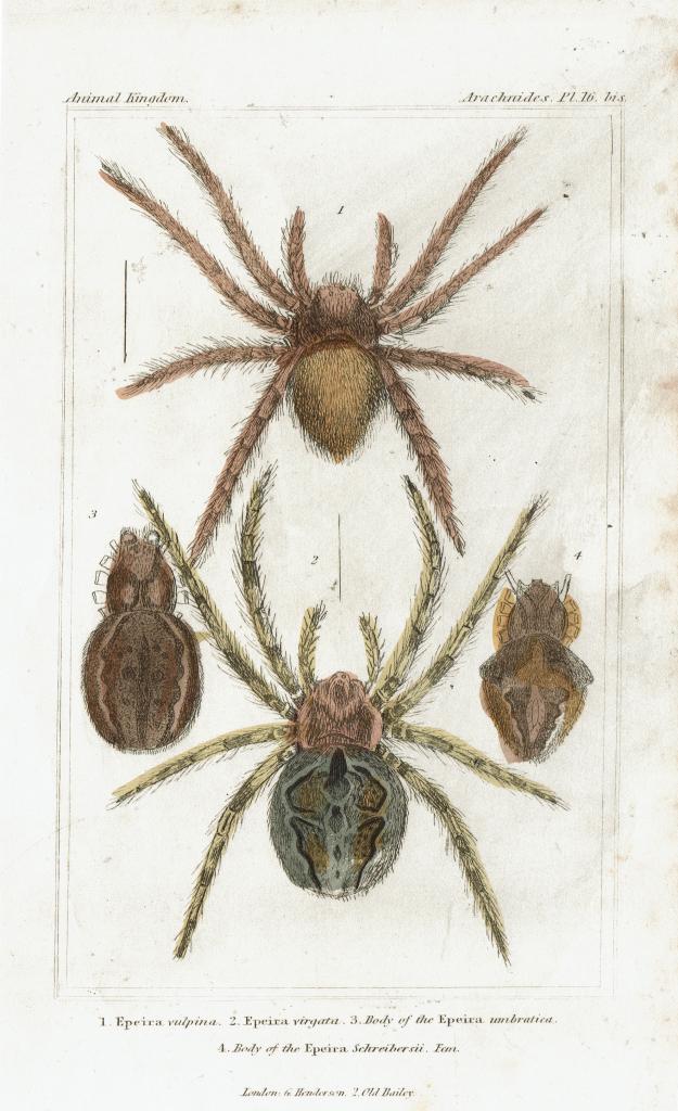 Gravure epeira, Collection Camille Renversade - Exposition Araignées, lucioles et papillons - Musée en Hebre