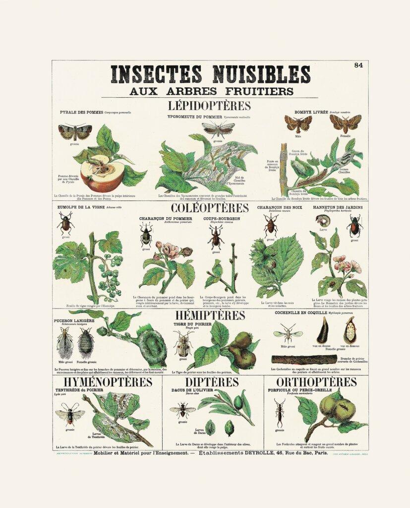 Insectes nuisibles aux arbres fruitiers - Collection Deyrolle - Exposition Araignées, lucioles et papillons - Musée en Hebre