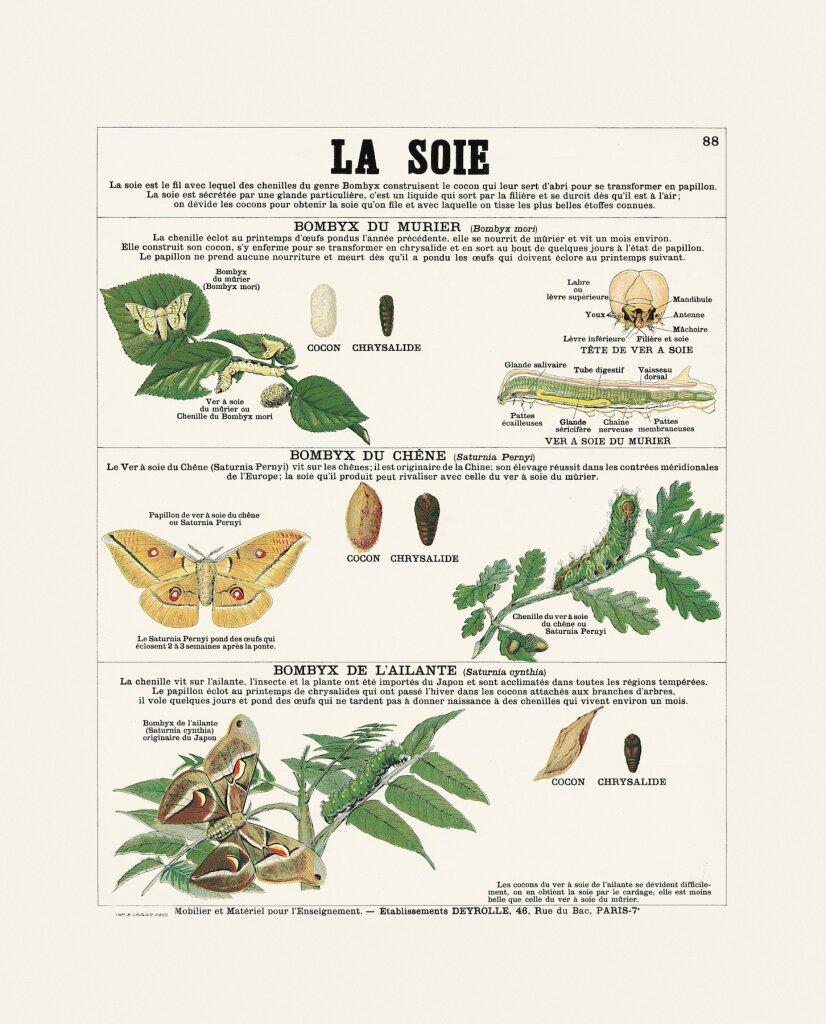 La soie - Collection Deyrolle - Exposition Araignées, lucioles et papillons - Musée en Hebre