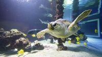 musee_oceanographique_monaco-tortue rana grand bassin