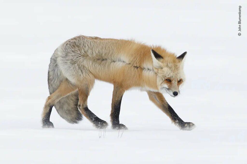 A Fox for All Seasons