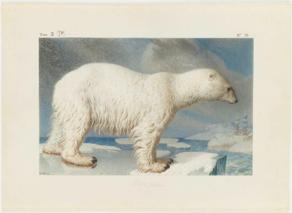 Nicolas Maréchal (1753 - 1802) Ours blanc - Ursus maritimus Phipps (Ursidés) : Ours polaire, 1796