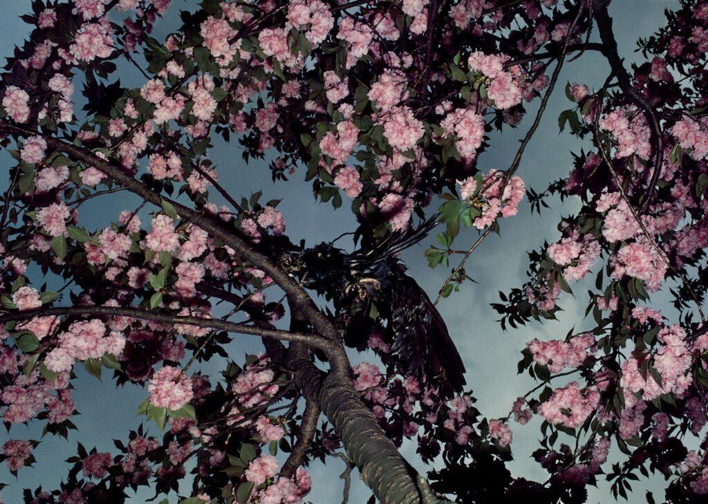 Shōmei Tōmatsu Cherry Blossoms, Shinkuku Gyoen, 1980