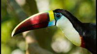 Exposition-outre mer-grilles jardin luxembourg -Toucan-a-bec-rouge-J-Bonnaud