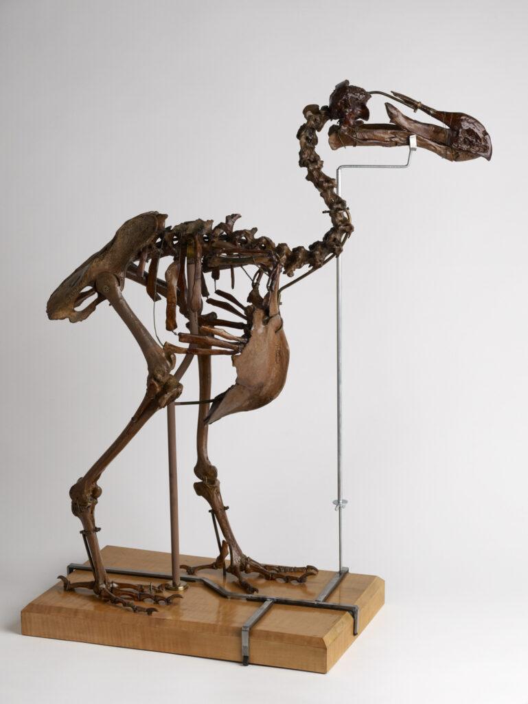 Dronte de Maurice (dodo)