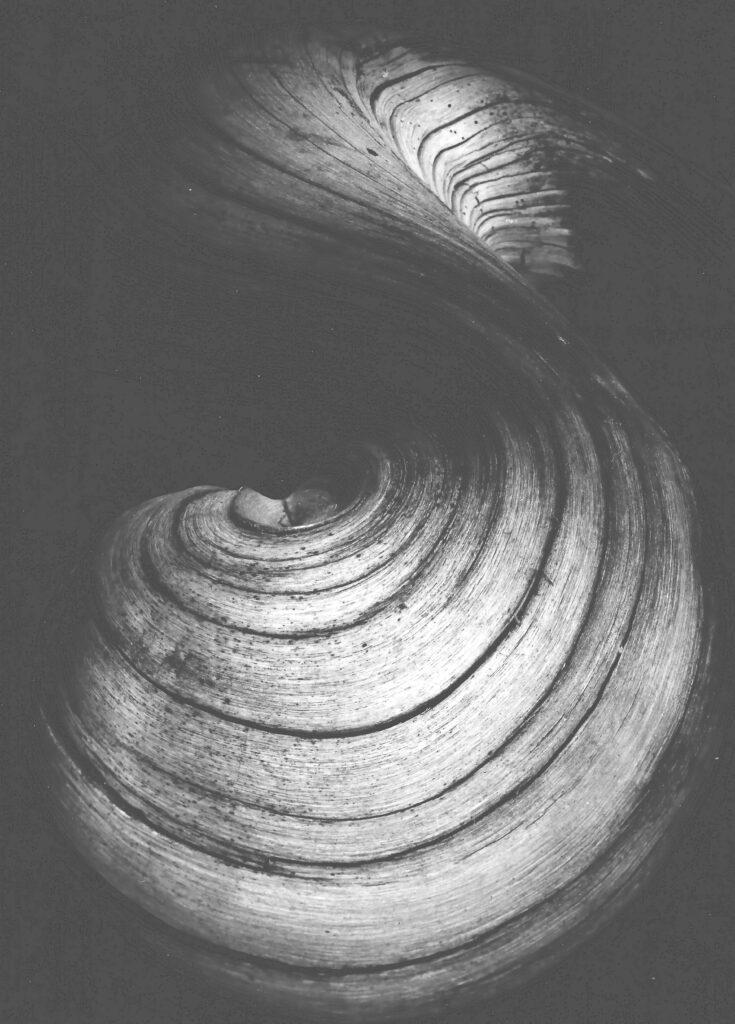 Dieuzaide, La racine de Saule