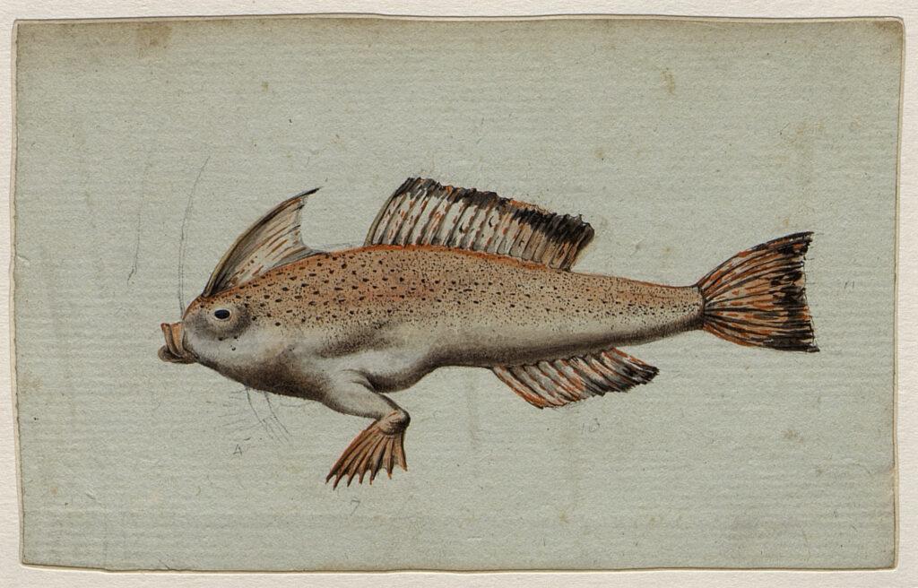 Brachionichthys hirsutus , Charles-Alexandre Lesueur