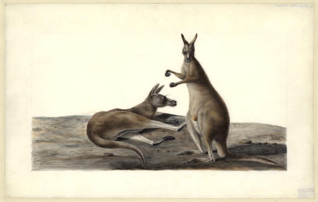 Macropus giganteus Shaw, 1790, Charles-Alexandre Lesueur