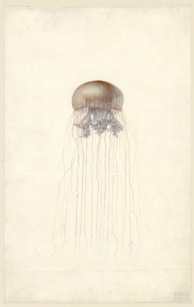 Méduse Chrysaora hysoscella, Charles-Alexandre Lesueur