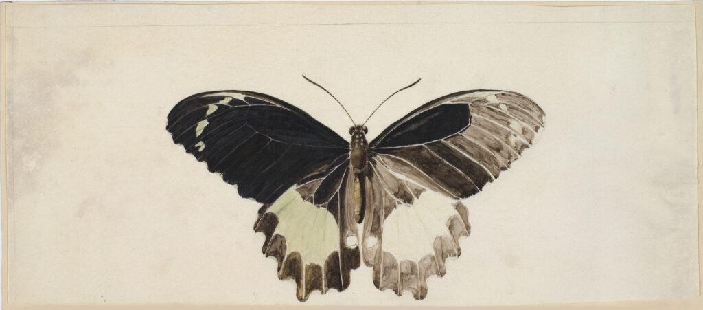Papillon, espèce indéterminée, Charles-Alexandre Lesueur