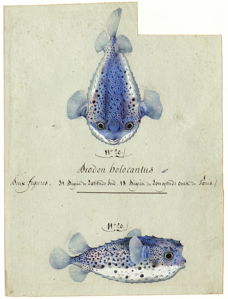 Poisson hérisson Chylomycterus reticulatus, 1758